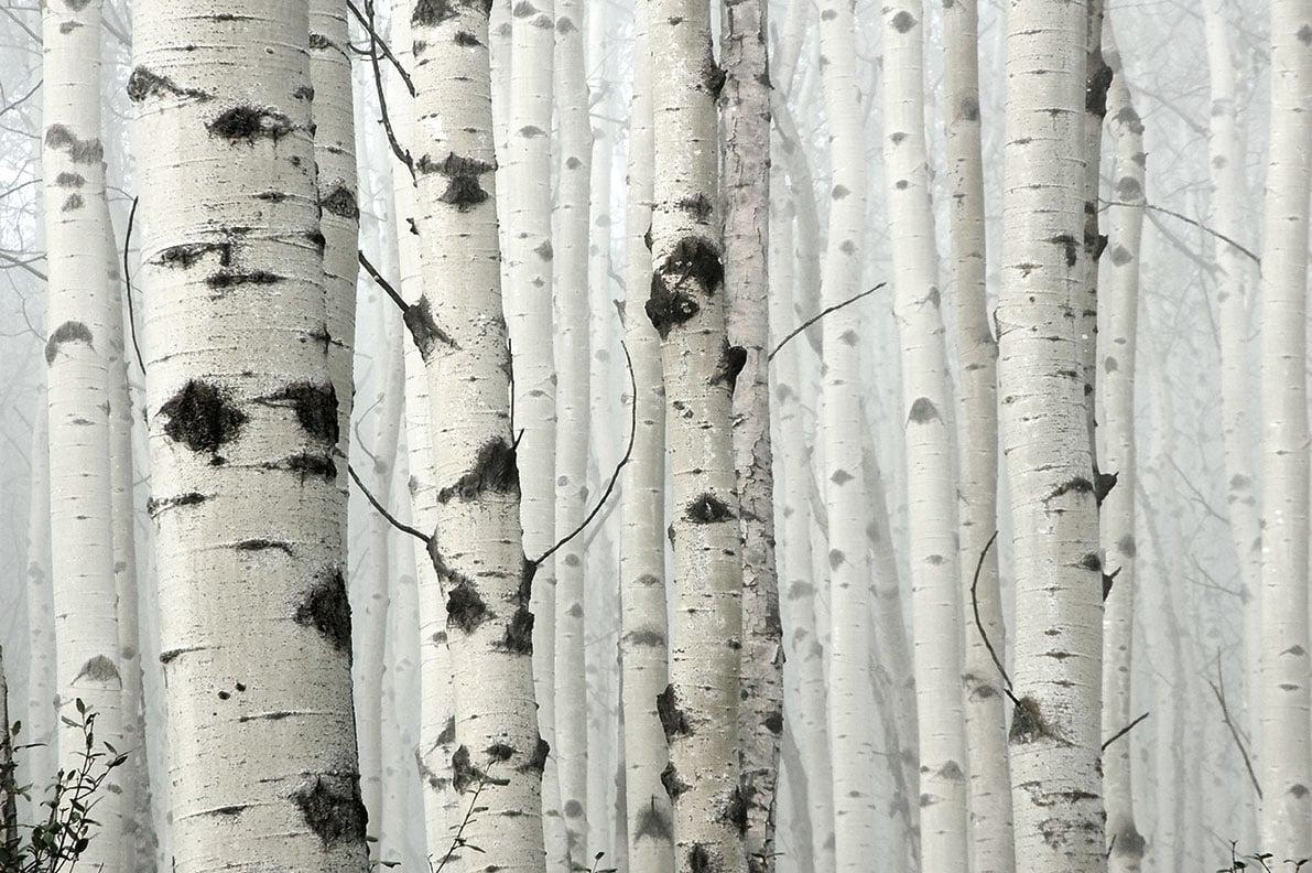 birch---lower-res